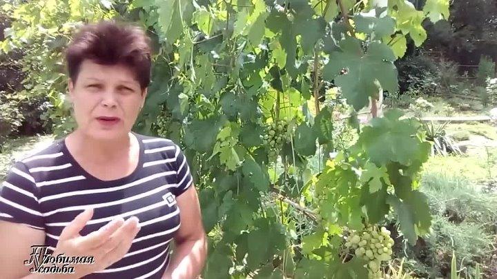 Болезни винограда: описание заболевания, меры борьбы и фото