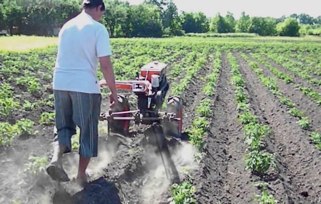 Окучивание картофеля с помощью мотоблоком нева