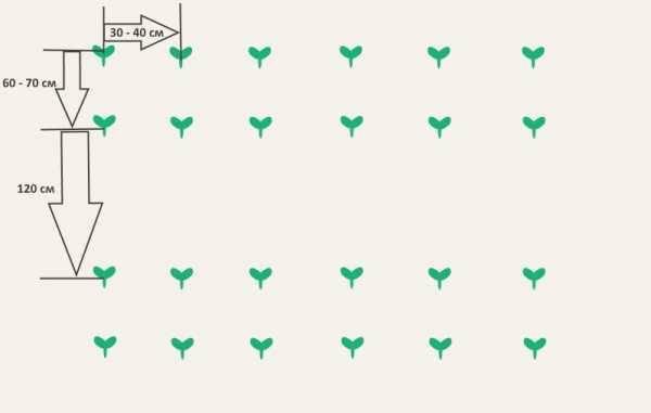 Любительское руководство посадки кабачков в открытый грунт