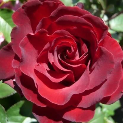 Роза омаж барбара отзывы