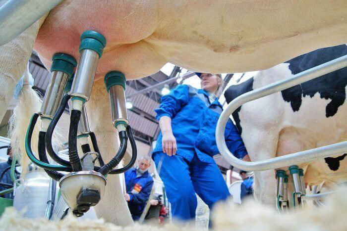 Как правильно доить корову доильным аппаратом?