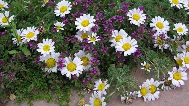Как называются цветы, похожие на ромашки.