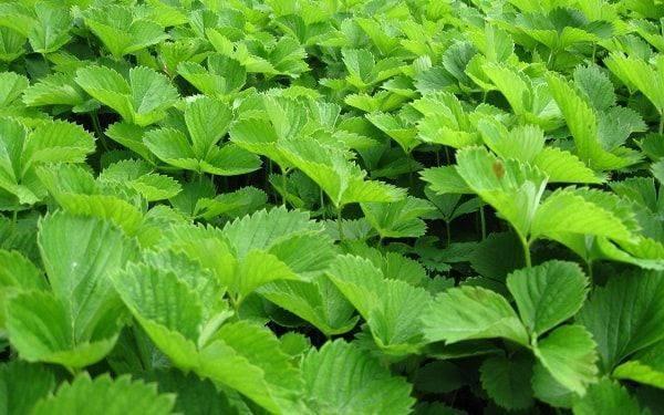 Как распознать бурую пятнистость листьев клубники и способы лечения