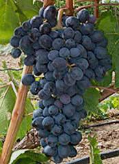 Виноград аттика описание сорта фото отзывы видео