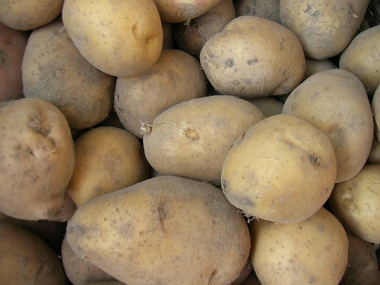 красивая ранние сорта картошки украина с фото конце осмотра