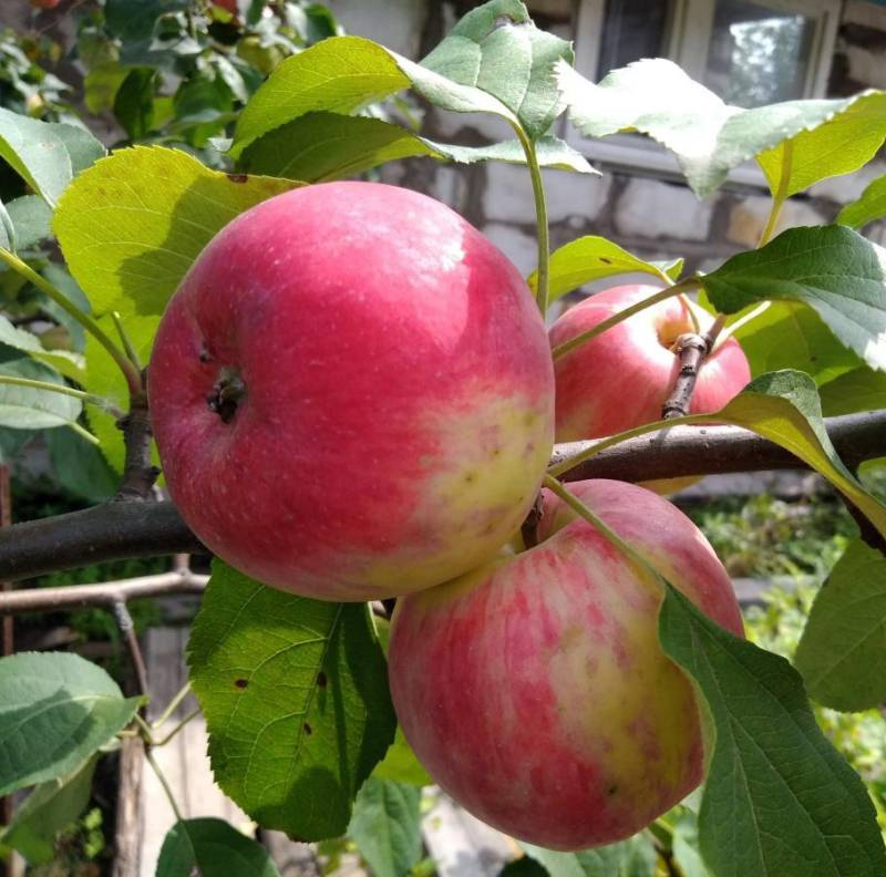 Яблоня флорина – секреты выращивания сорта, описание, фото, видео