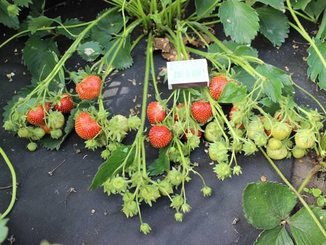 Особенности ухода и выращивания клубники дарселект