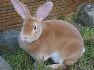 Кролики породы рекс - описание, окрасы, разведение