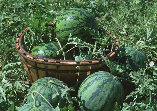 Чем подкормить арбузы и дыни, чтобы быстрее росли