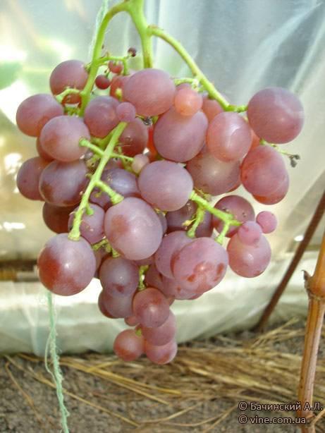 Русский ранний виноград описание