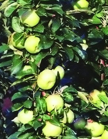 О колоновидной яблоне Диалог: описание и характеристики сорта, посадка и уход