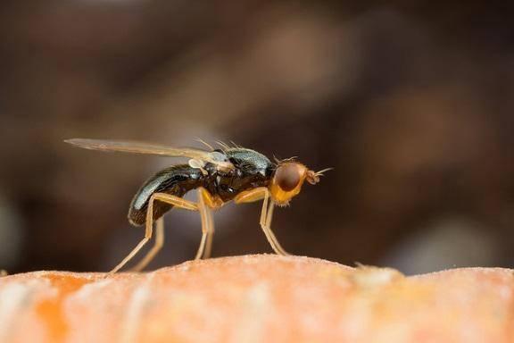 Морковная муха. методы борьбы с насекомыми