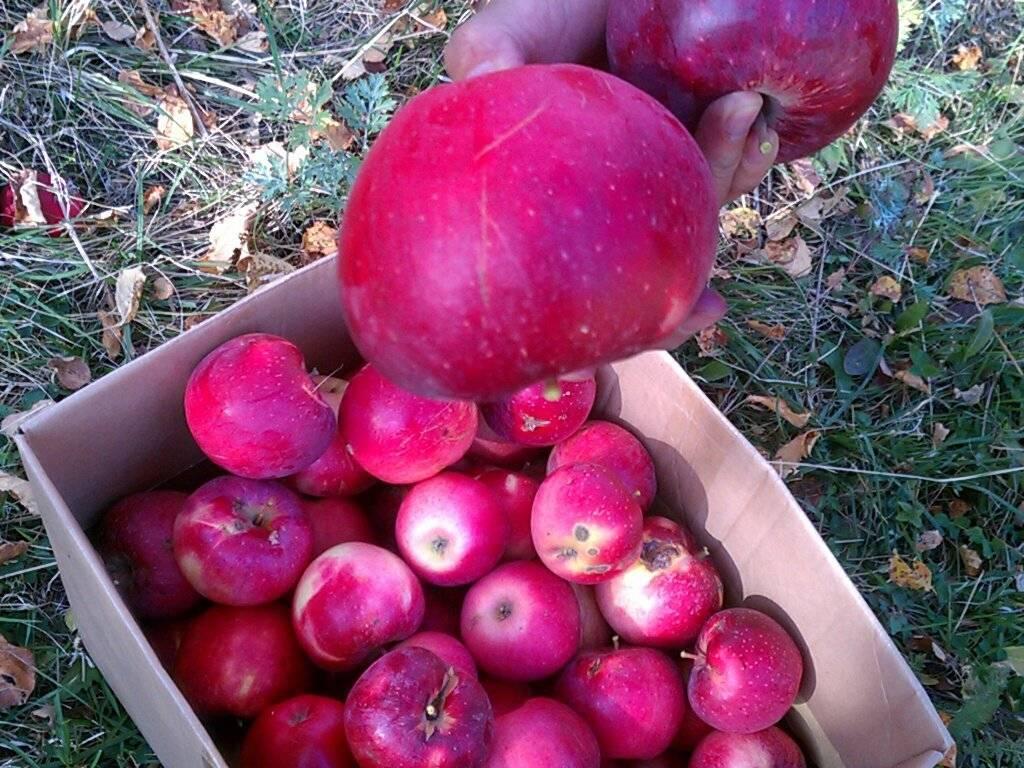 Апорт: сорт яблони с великолепными плодами