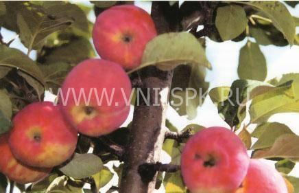 О яблоне Горнист: описание сорта, характеристики, агротехника, выращивание