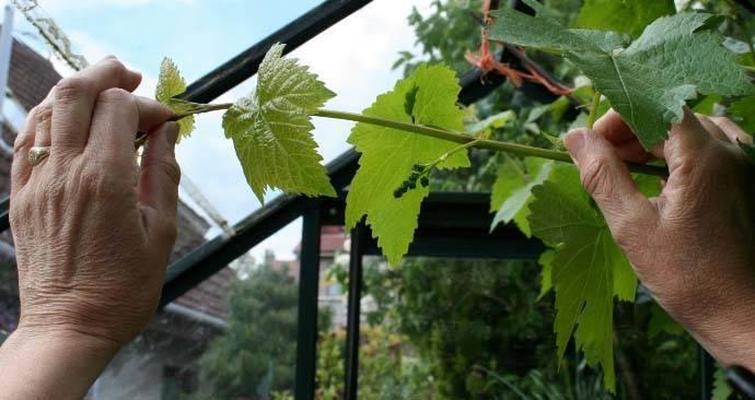 Пасынкование винограда — схемы пасынкования и избавления от ненужных побегов (фото и видео)