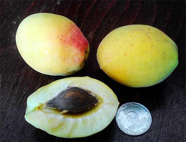 Особенности выращивания сорта абрикоса шалах