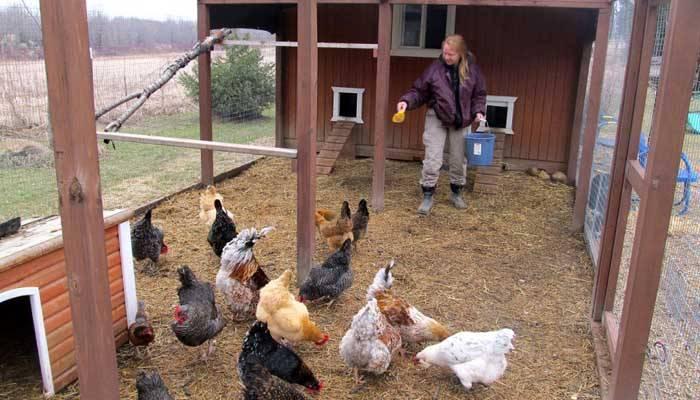 Нормы питания кур-несушек – основа продуктивности и здоровья птицы