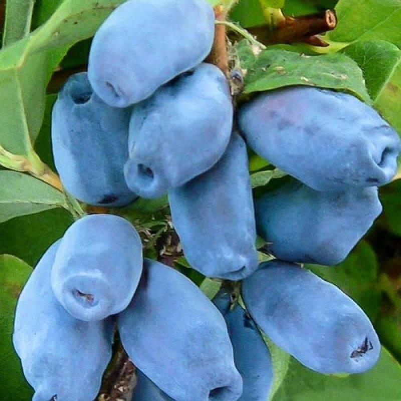 Лучшие сорта синей жимолости с фото и описанием