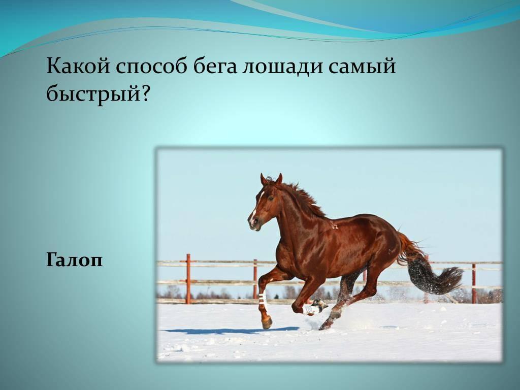 Основы движения лошади: аллюры