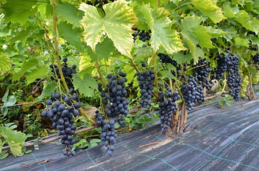 Как вырастить виноград в ленинградской области. виноград в ленинградской области: посадка и уход