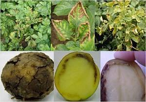 Фитофтороз картофеля, альтернариоз,фитофтора, фунгициды для картофеля, меры борьбы