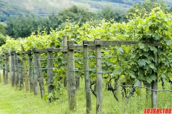 Как подвязать виноград правильно