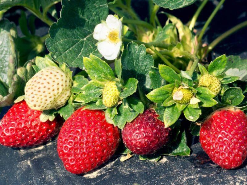 Чем подкармливают клубнику весной, осенью, во время цветения, после сбора урожая, для хорошего урожая?