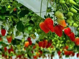 Правильно выращиваем клубнику по голландской технологии