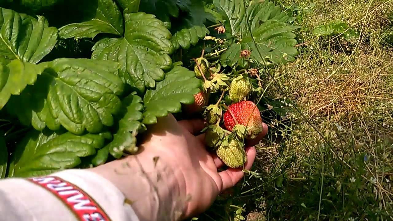Клубника «царица»: характеристика сорта, особенности посадки и ухода