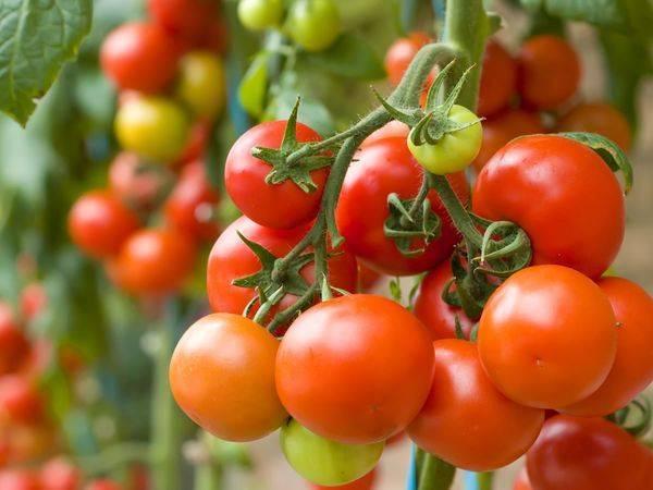 Совместные посадки в теплице, или какие овощи можно сажать рядом
