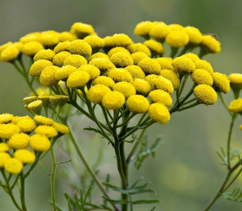 О траве пижма: как выглядит, полезные свойства растения, сфера применения