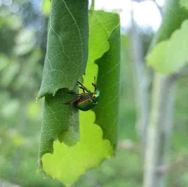 Почему на винограде скручиваются листья в трубочку, как узнать и исправить