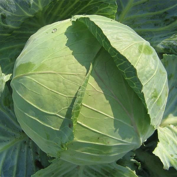 Семена капусты «колобок f1» — отзывы. негативные, нейтральные и положительные отзывы