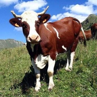 Лечение поноса у коров