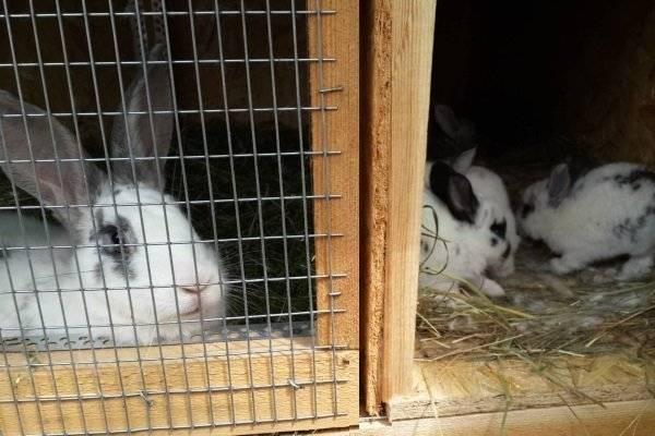 Как и чем можно кормить маленьких крольчат с крольчихой и без нее: рацион и нормы кормления