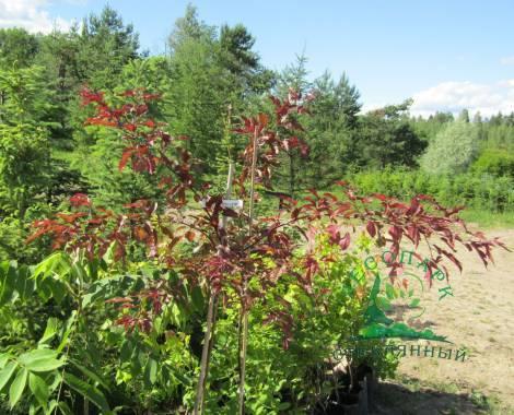 Сорт яблони голден делишес — характеристика и особенности выращивания