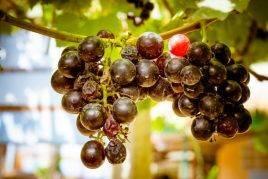 Почему осыпается виноград после цветения. что делать если осыпается завязь винограда
