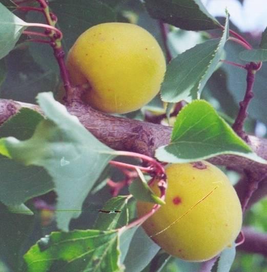 Абрикос северный триумф: описание самоопыляемого сорта, правила и особенности выращивания