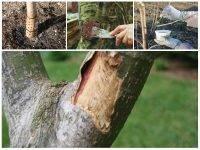 Почему треснула кора на молодой яблоне, что делать?