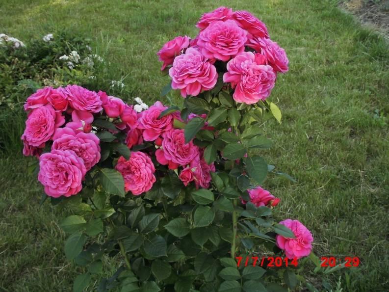 Роза каприция ренессанс энциклопедия роз
