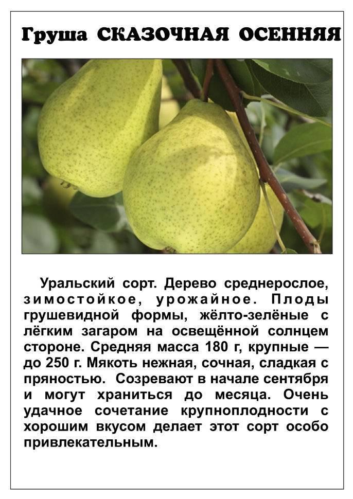 Груша «лесная красавица»: описание сорта и особенности выращивания
