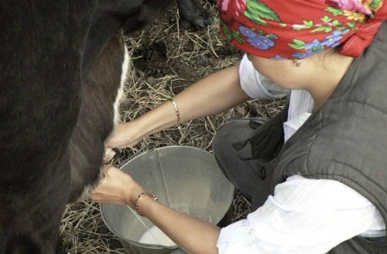 Если корова бьется при доении — что делать