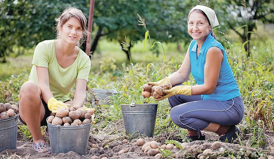 Копаем картошку: копка картофеля мотоблоком, лопатой и мотокультиватором