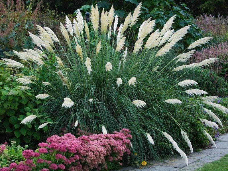 Пампасная трава или кортадерия: посадка и уход в открытом грунте, фото ландшафтного дизайна с ней