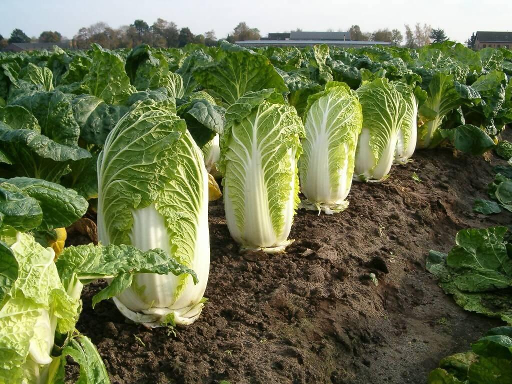 Пекинская капуста: описание, сорта, выращивание и сбор урожая, отзывы