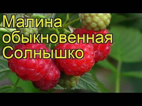 Малина примара — сверхранний сорт от питомника брусвяна
