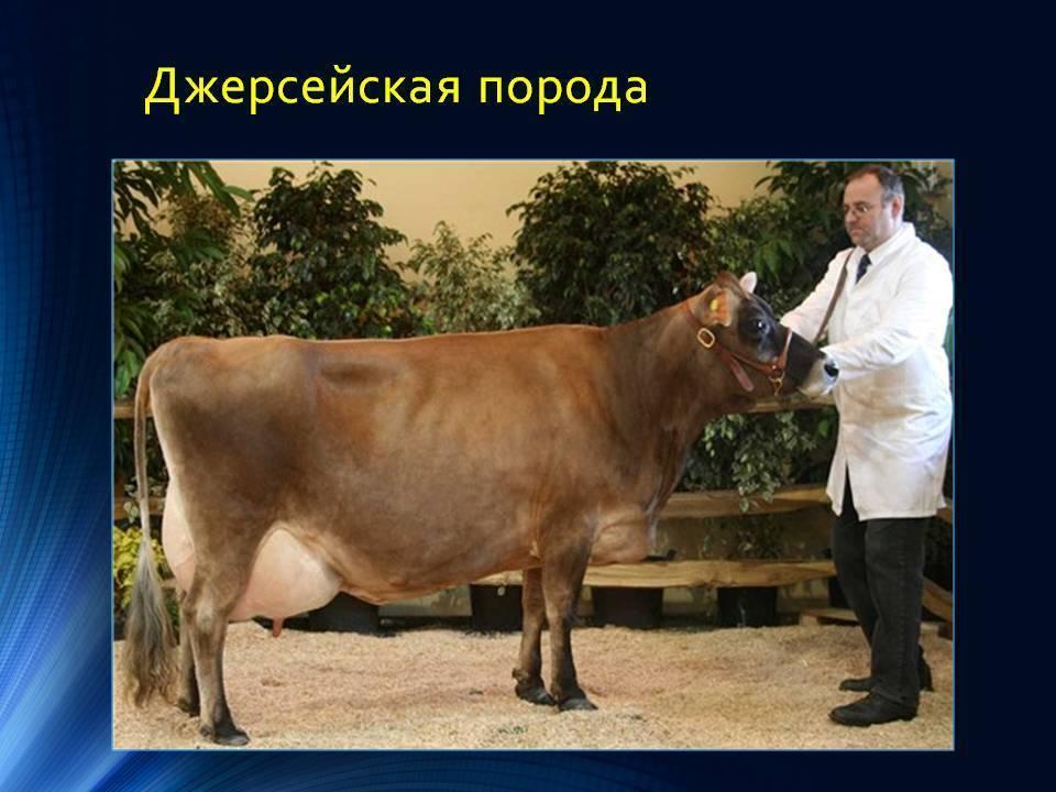 Уникальность крс джерсейской породы коров