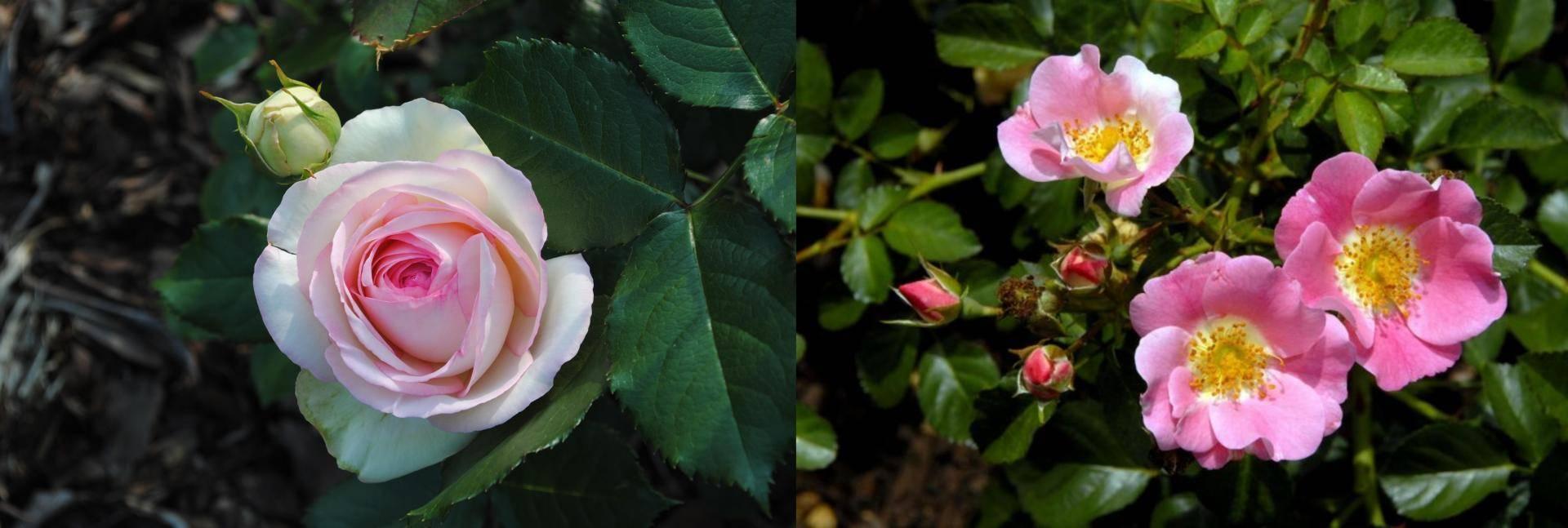 Роза переросла в шиповник что делать