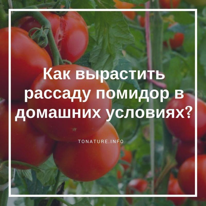 Что такое фитофтора, как появляется на на рассаде помидоров и каким образом от нее избавиться?