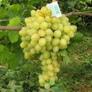 Виноград аркадия настя описание сорта фото